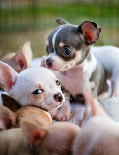 Puppy Love - Chihuahuas - {Ontario Animal & Pet Photographer}
