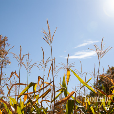 Apple Picking and A Corn Maze